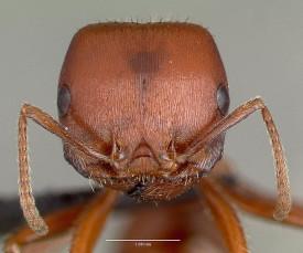 Голова красного муравья