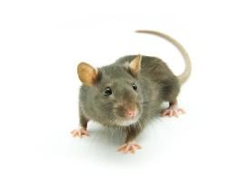 Опасные укусы крысы