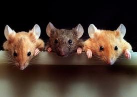Укус мыши