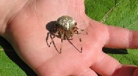 Укус паука-крестовика